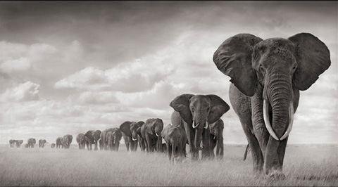 Elephants walking Through Grass, Amboseli, 2008.