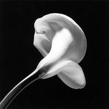 Robert Mapplethorpe, Calla Lily.