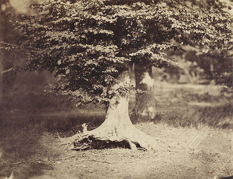 Le Gray's Beech Tree