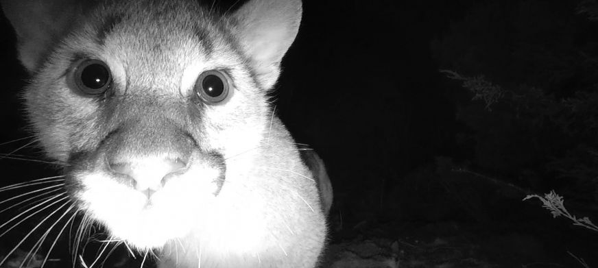 Mountain Lion Kittens First Camera Featured