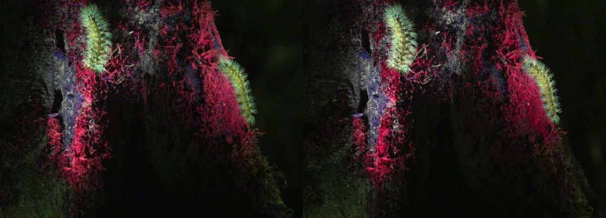 This stereo image shows us the naturally fluorescent properties of Amazonian caterpillars, as shot with the Canon ME30F.